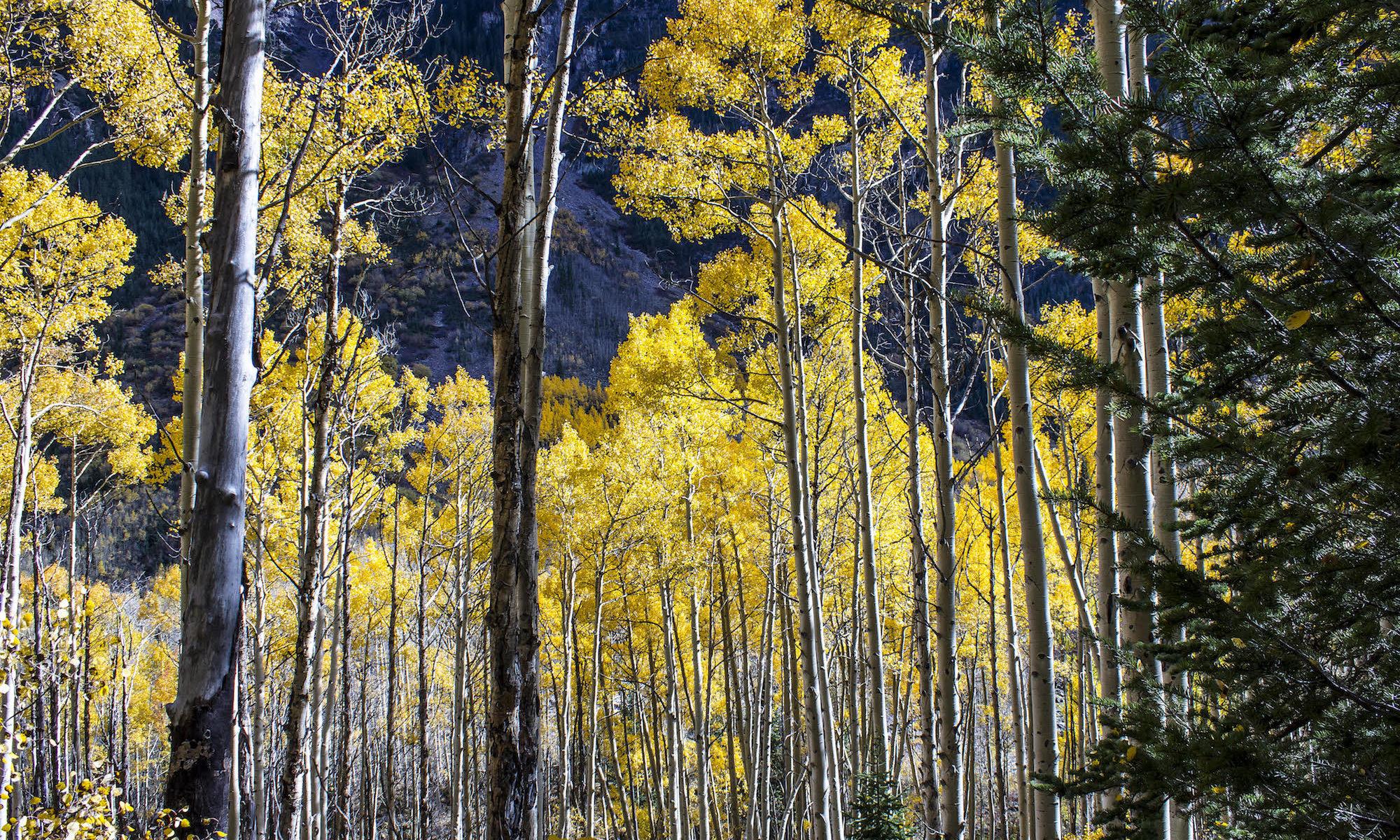 Aspens in Colorado